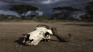 Skull-of-an-antelope-in-the-african-drought-via-Shutterstock.com_-615x345